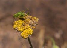Tettigonia viridissima Royalty Free Stock Photo