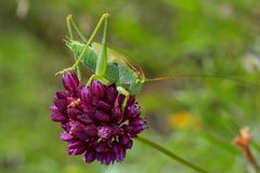 Tettigonia viridissima. The Great Green Bush-Cricket, is a large species of katydid or bush-cricket belonging to the family Tettigoniidae, subfamily Stock Image
