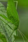 Tettigoniidae/Katydids o grillos del arbusto Fotos de archivo libres de regalías