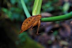 A Tettigoniidae leaf bug hanging on a stem in Las Quebradas royalty free stock photos