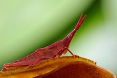 Tettigonioidea or grasshopper Royalty Free Stock Images