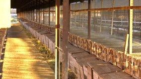 Tettoie - tende lunghe Visone europeo, lutreola del Mustela, guardante con la griglia della sua gabbia I visoni europei sono cont stock footage