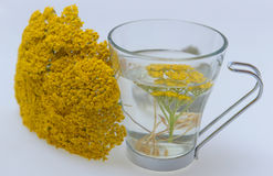Teucrium tea pollum. Herbal tea;teucrium tea pollum Stock Images