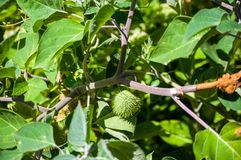 Teufel ` s Trompete, Datura metel, im Garten, Abschluss oben stockfoto