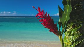 Teuila red flower agains beach on Samoa Islands stock video footage