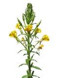 Teunisbloem (Oenothera-biennis) Royalty-vrije Stock Foto's