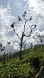 Teväxter fotografering för bildbyråer