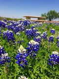 Texan Bluebonnets Stock Photography
