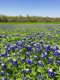 Texan Bluebonnets Royalty Free Stock Photos