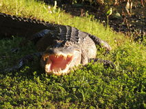 Texas alligator Royaltyfri Bild