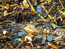 Texas Alligator Stockbilder