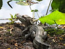 Texas alligator. At brazos bend state park Royalty Free Stock Photography