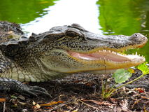 Texas alligator with jaws open. Texas alligator at brazos bend state park with its mouth open showing its teeth Stock Image