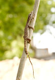 Texas alligator lizard. An aggressive brown and yellow lizard, the Alligator Lizard, Elgaria coerulea stock photo