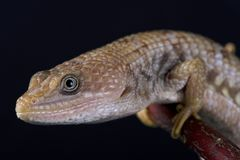 Texas alligator lizard Gerrhonotus infernalis. The Texas alligator lizard Gerrhonotus infernalis is a large semi arboreal lizard species found in the United Stock Photography