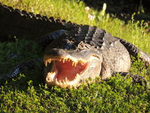 Fearsome and hungry Texan alligator Stock Photography