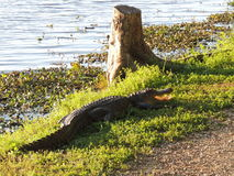 Texas Alligator Stock Images