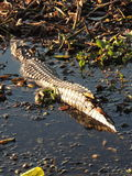 Texas Alligator Stock Photography