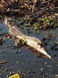 Texas Alligator Stock Photography