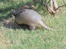 Texas Armadillo Foto de Stock Royalty Free