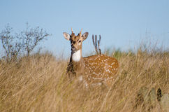 Texas Axis Deer Chital, bois de flottage le Texas Photos stock