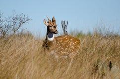 Texas Axis Deer Chital, bois de flottage le Texas Photos stock
