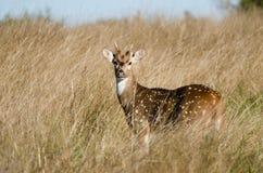 Texas Axis Deer Chital, Treibholz Texas Stockfotografie