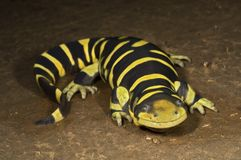 A Texas Barred Tiger Salamander Stock Image