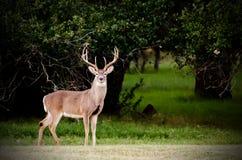 Texas Big Buck Image stock