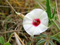 Texas Bindweed Convolvulus equitans Wildflower stock foto's