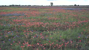 Texas Blue Bonnet Wildflowers Blow-Erschütterungs-ländliche Landschaft stock video footage