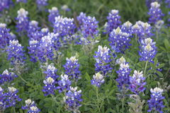 Texas Blue Bonnets Lizenzfreie Stockbilder