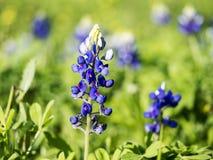 Texas Blue Bonnets Stock Photos