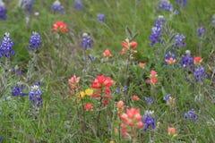Texas Blue Bonnets Stock Images