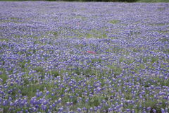 Texas Blue Bonnets Royalty Free Stock Photos
