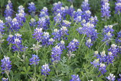 Texas Blue Bonnets Stock Photo