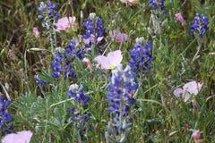 Texas Blue Bonnets Royalty Free Stock Photo