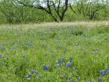 Texas Blue Bonnets In eine wilde Wiese stockfotos