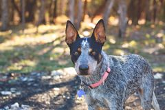 Texas Blue Heeler cattle dog. Playing in the woods, taking a break to watch royalty free stock photography