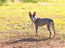 Texas Blue Heeler cattle dog. Playing in the woods, taking a break to watch royalty free stock images