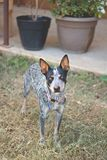 Texas Blue Heeler cattle dog. Playing in the yard, stopping to look stock photo