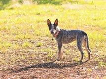 Texas Blue Heeler-Viehhund lizenzfreie stockbilder