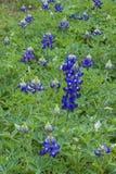 Texas Bluebonnet Fotografía de archivo