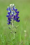 Texas Bluebonnet Royaltyfri Foto