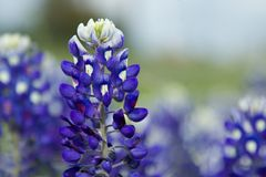 Texas Bluebonnet Royalty-vrije Stock Foto