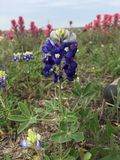 Texas Bluebonnet photo stock