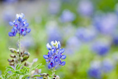 Texas Bluebonnet against a field of bluebonnets Stock Photo