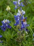 Texas Bluebonnet Bee Fotos de archivo libres de regalías