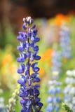 Texas Bluebonnet-Blume (Lupinus texensis) mit buntem Hintergrund stockfoto