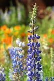 Texas Bluebonnet-Blume (Lupinus texensis) mit buntem Hintergrund stockbilder